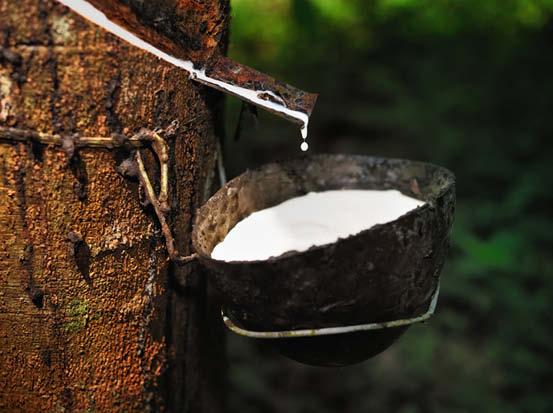 Gewinnung von flüssigem Naturlatex als Rohstoff aus einem Baum